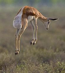 Springbok_pronk