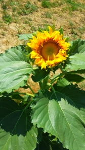 first sunflower 2014